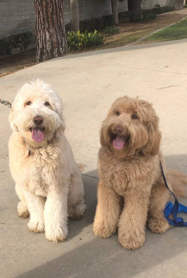 Labradoodle Remembers Brother