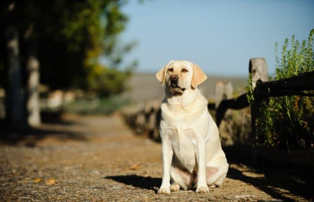 Dangers of Obesity in Dogs
