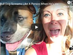 This Pitbull Screams Like a Human