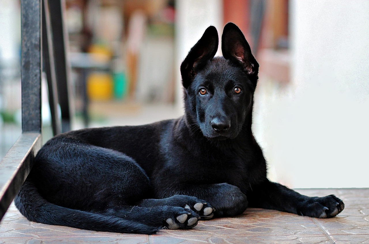 black german shepherd, puppy, dog